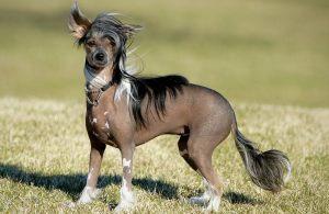 Фото.Китайская хохлатая собака