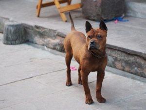 Фото. Китайская собака чунцин