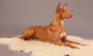 Фото. Фараонова собака